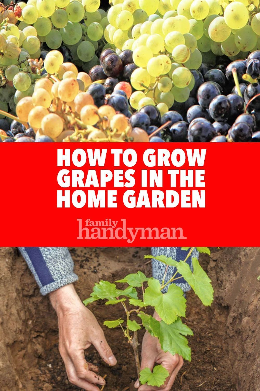 How to Grow Grapes in the Home Garden - Modern Design 4 in ...