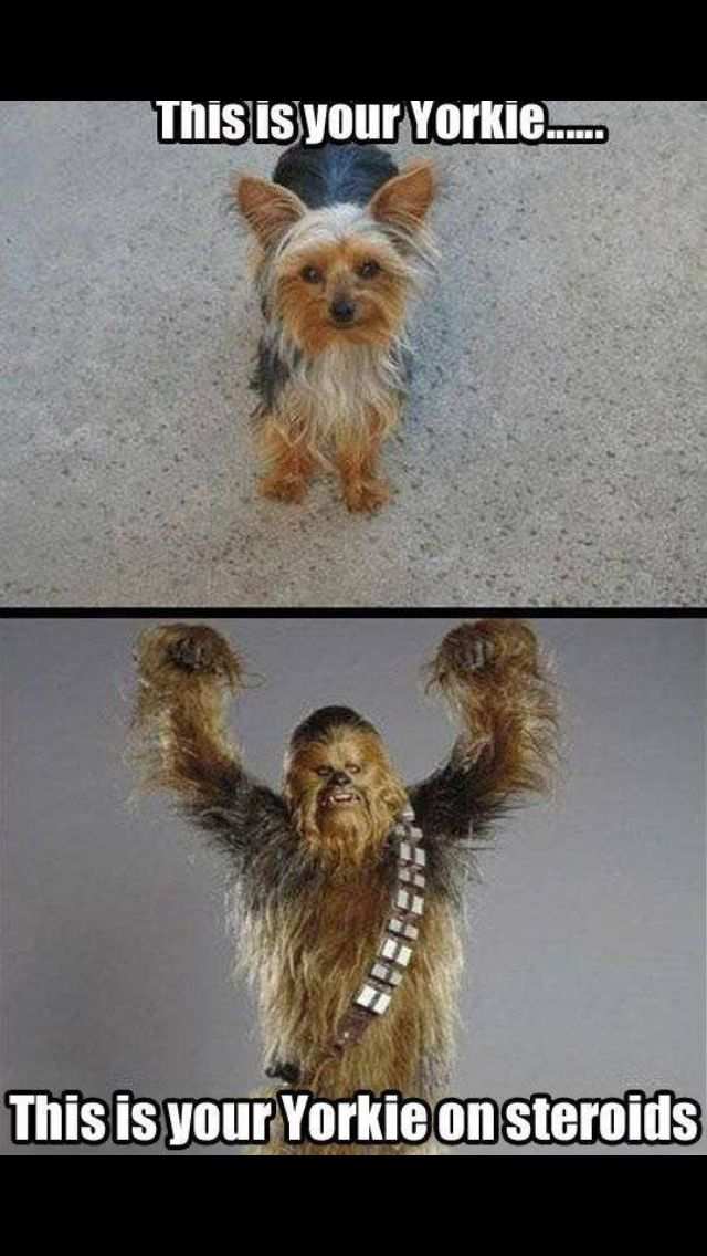 Yorkie On Steroids Yorkie Funny Animals Yorkshire Terrier