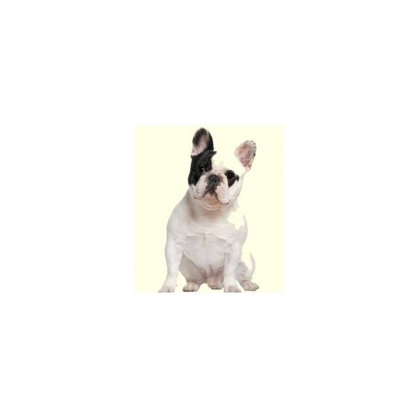 French Bulldog Puppies For Sale In De Md Ny Nj Philly Dc And