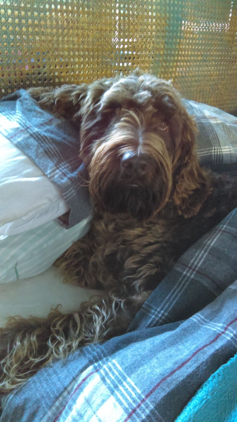 I was sleeping this is my bed german wirehaired