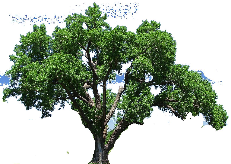 Image.shutterstock.com z stock photo elm tree isolated on white