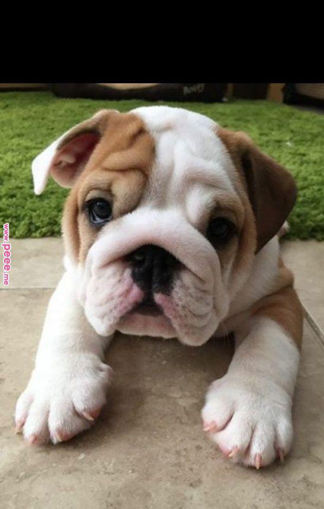 Mas Lindoo Cute Bulldog Puppies French Bulldog