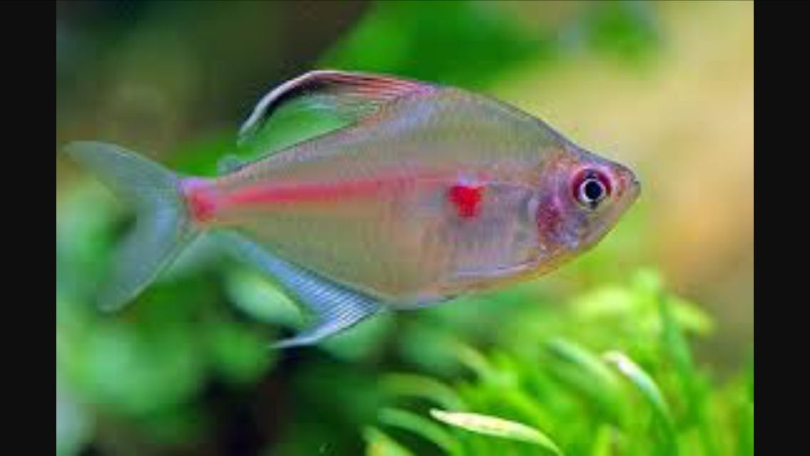 Hyphessobrycon Erythrostigma Tetra Fish Aquarium Fish Tropical Fish