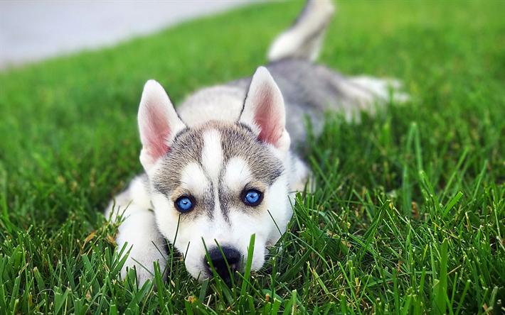 Lataa kuva Siperian Husky, 4k, nurmikko, pentu, koirat, siniset silmät, lemmikit, Chukcha, söpöjä eläimiä, Husky