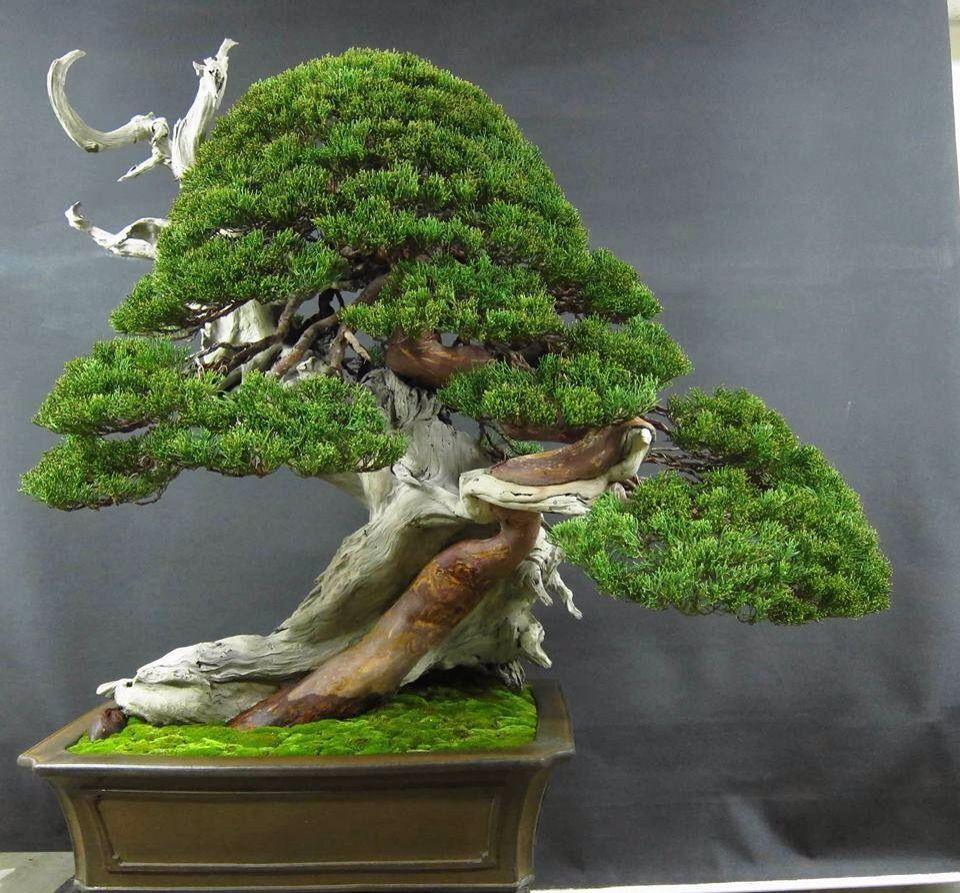 bonsai i japanese artistry of gardening pinterest bonsai baum baum und zwerg. Black Bedroom Furniture Sets. Home Design Ideas