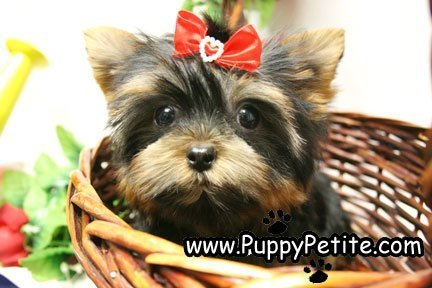 NYC Puppy - Yorkies for sale | Dogs | Yorkie, Yorkies for
