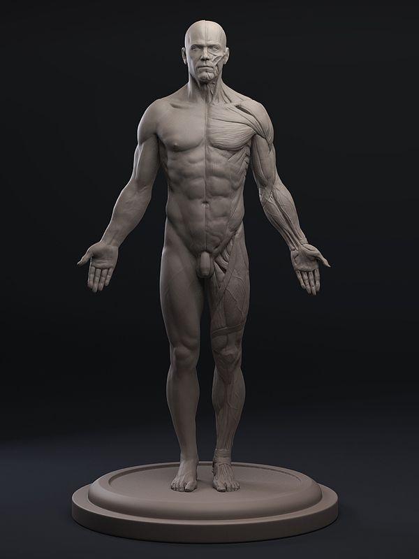3d Total Anatomy Figure Trunk Anatomy Male Bible Pinterest
