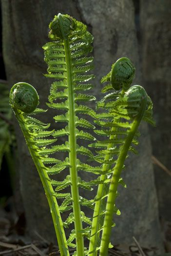 love the beauty and delicacy of springtime ferns