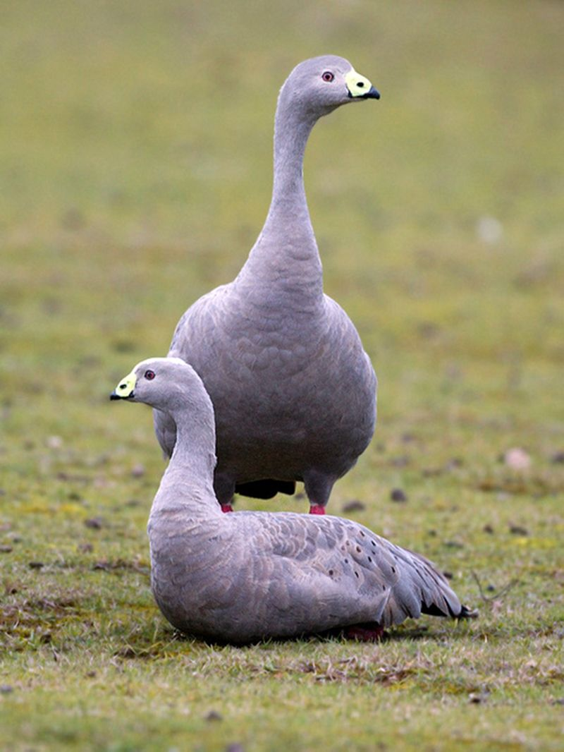 The Cape Barren Goose - Cereopsis novaehollandiae, is a very large goose found on the south-eastern coast of Australia, the southern coast of Western Australia, and has been introduced to Kangaroo Island.