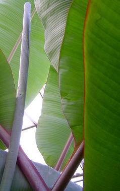 New banana leaves | Flickr