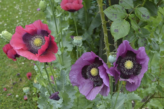 Stunning poppies | Nice kind of blue