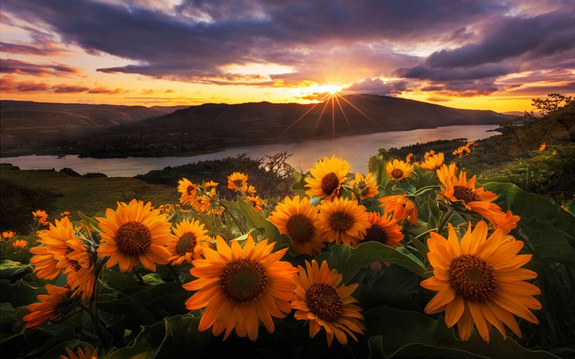 best sunflower wallpaper ideas on pinterest sunflower fields