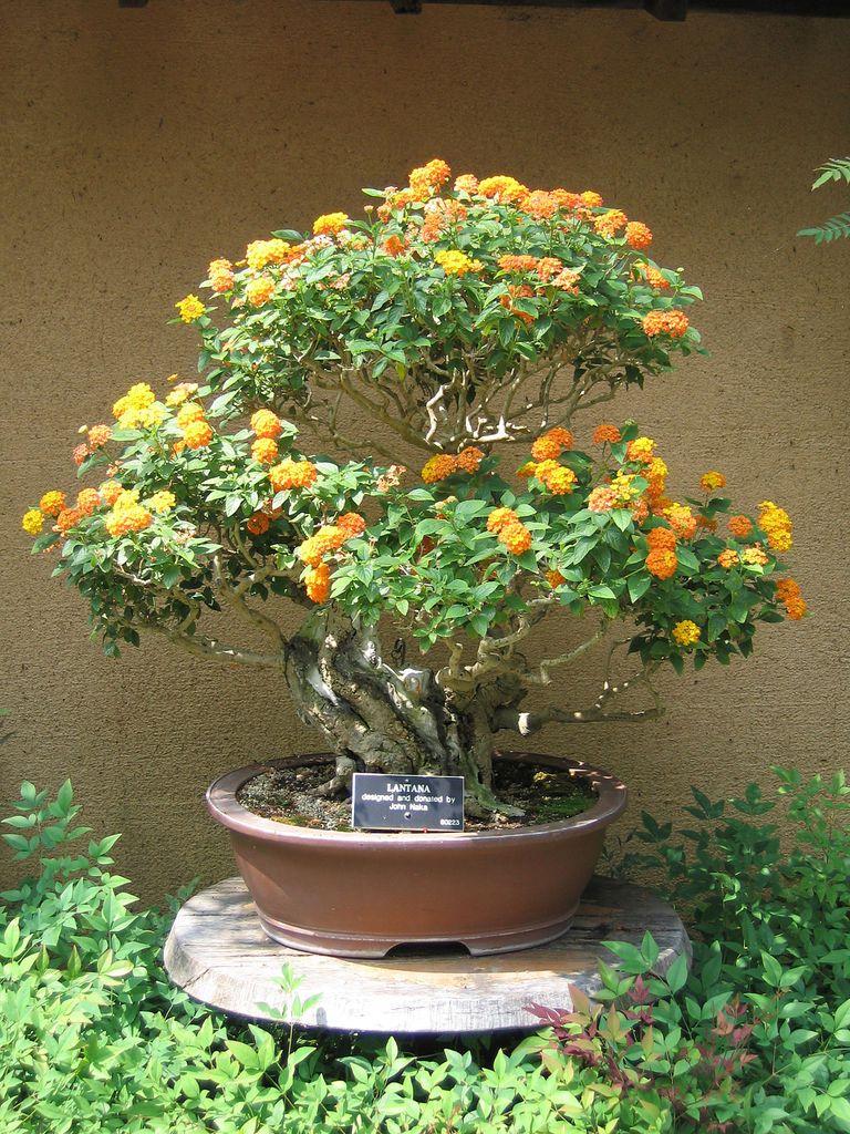 Lantana Bonsai Tree Bonsai Tree Bonsai Lantana
