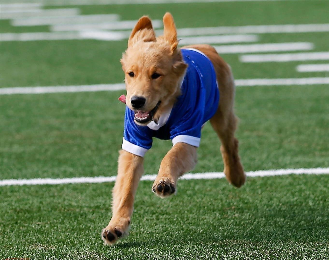 Goldie, U of Tulsa Golden Hurricane's new mascot Mascot