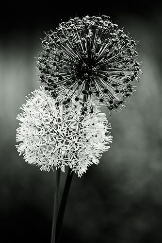 Black and white dandelions photography wish summer