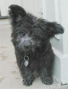 Pomeranian X Toy Poodle Mix