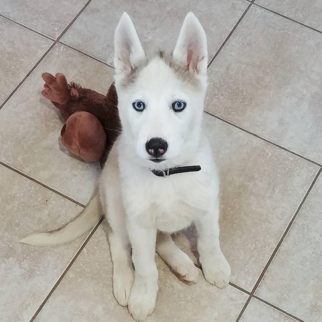 Jindo Husky Mix Named Sage Hybrid Dogs Husky