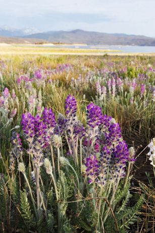 Wild flowers with Grand Lake in the distance.  Colorado