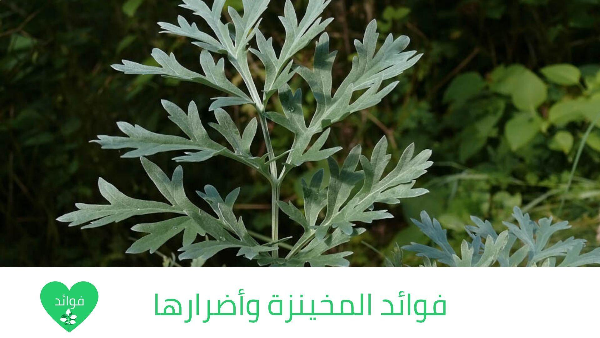 فوائد المخينزة وأضرارها واهم الاستخدامات لهذه النبته الرائعة Herbs Plants