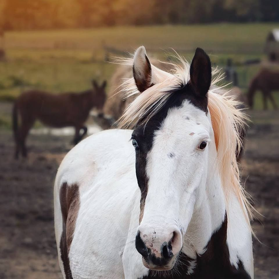 Pin On Horse Colors Paint Pinto Horses [ 960 x 960 Pixel ]