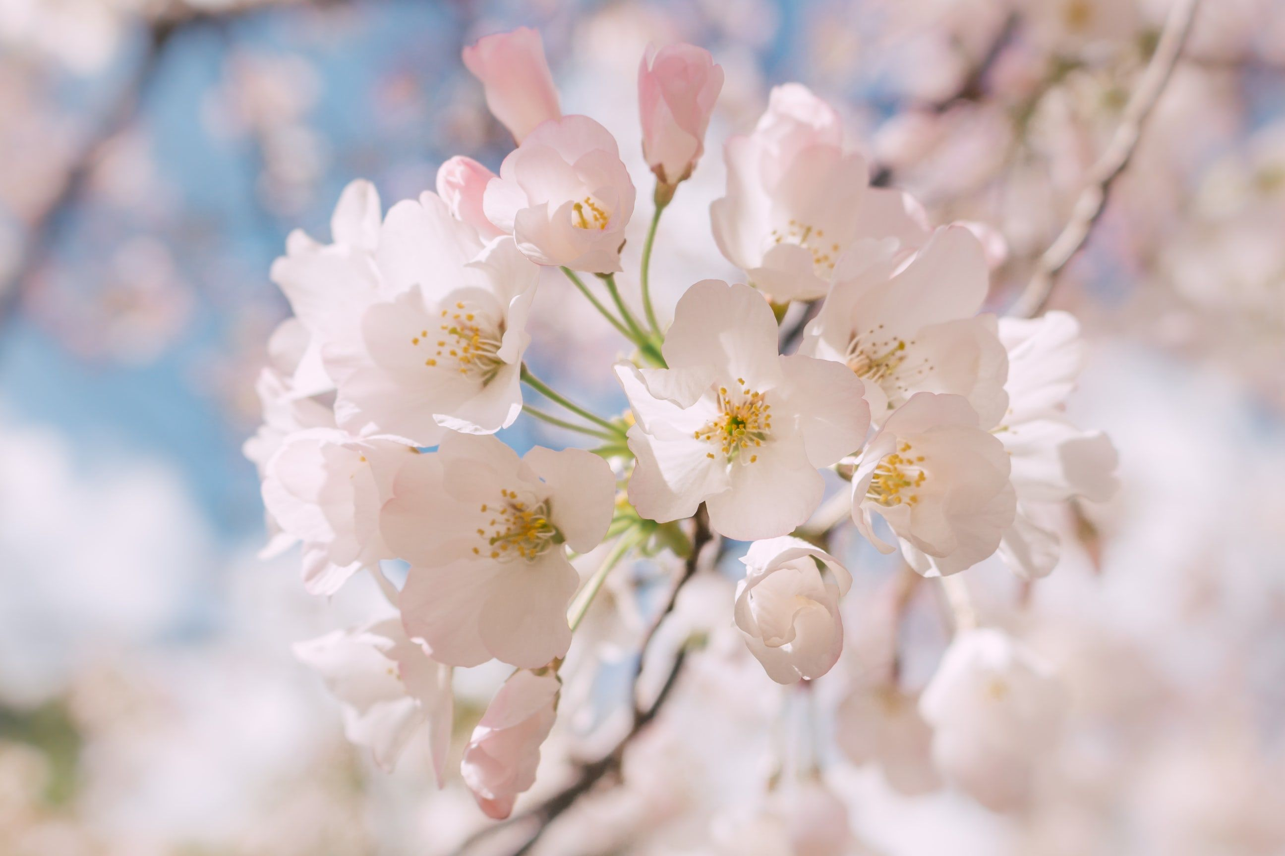 Macro Of White Blossom On Branch In Spring Elizabeth Gamble Garden Flower Pictures Cherry Blossom Pictures Blossom