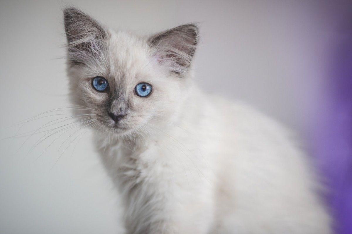White And Gray Siamese Kitten Funnyphotos Site Ragdoll Cat