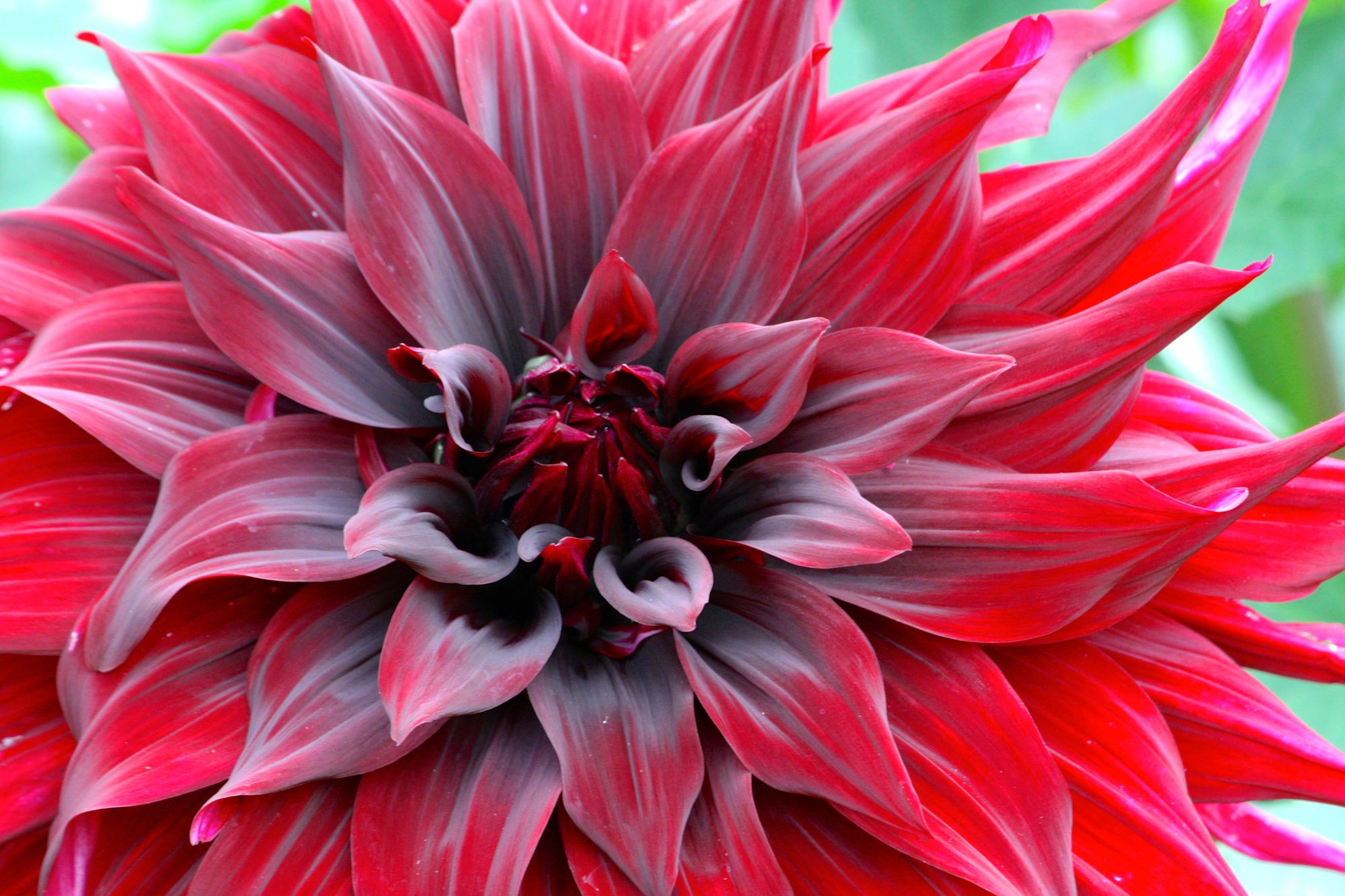 The dark, velvety blooms of Dahlia 'Black Monarch