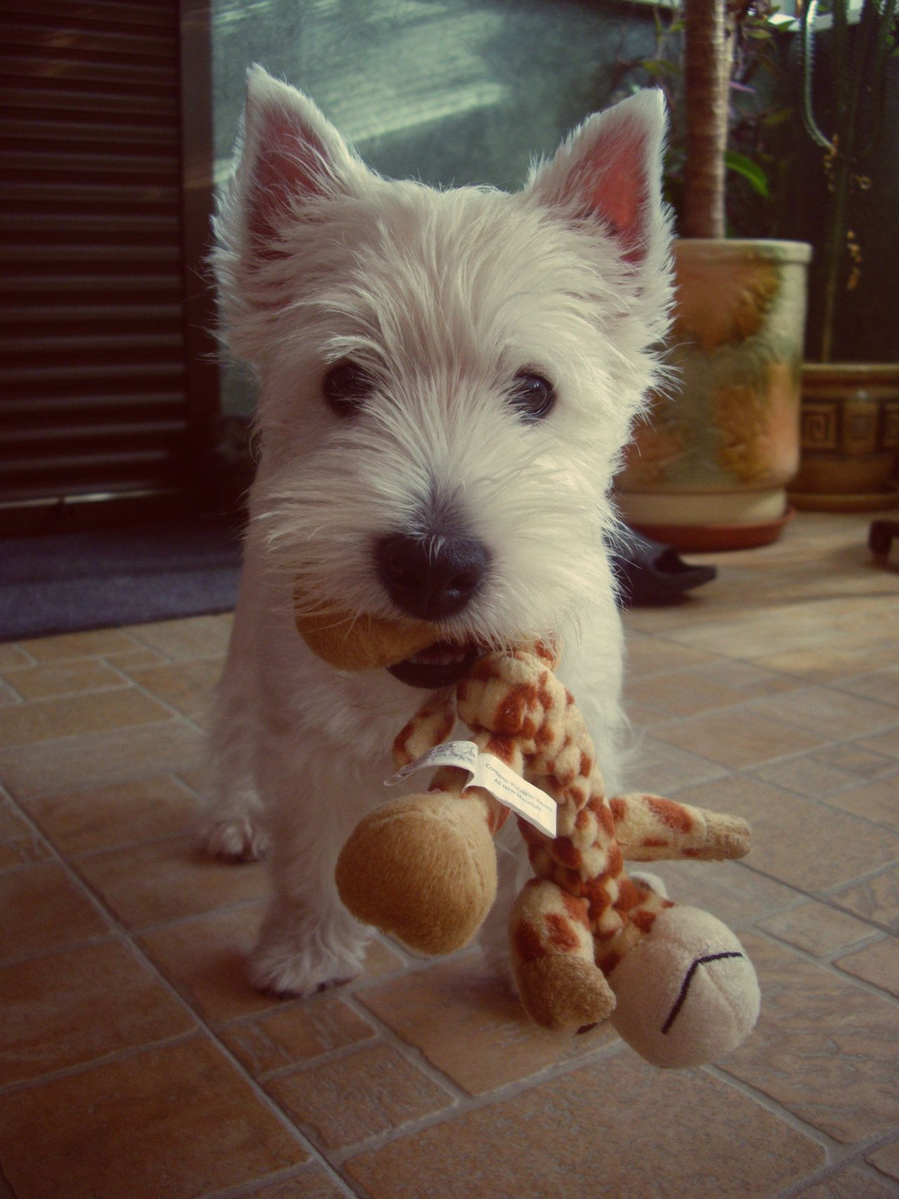 West Highland Terriers image by Christina McEdwards
