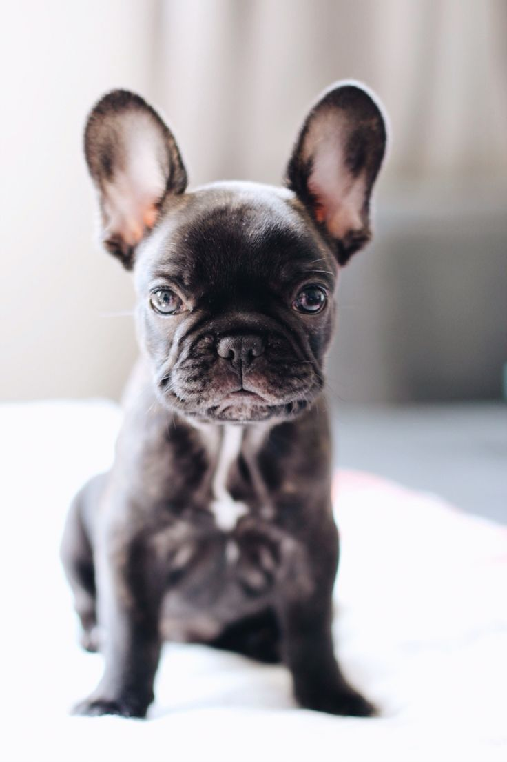 French Bulldog Bouledogue Francais Photo Chien