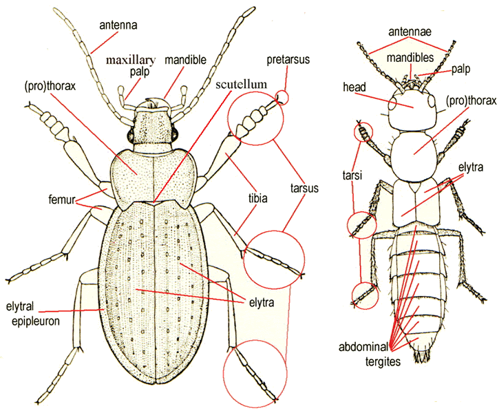 848b1a406bd49a3a9beae8f5fe7bc7b9 diagram of beetle morphology beetles pinterest beetles and beetle diagram at bayanpartner.co
