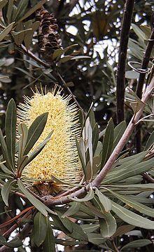 Banksia Integrifolia Coastal Banksia Australian Wildflowers Australian Native Plants Australian Native Garden