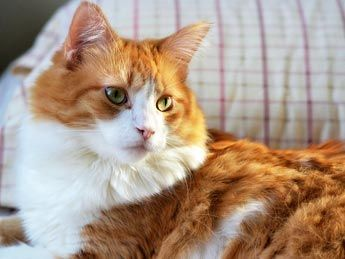 maine coon cats on pinterest maine coon kittens maine