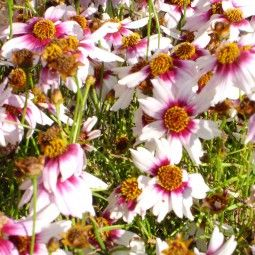 Coreopsis Rosea Sweet Dreams Coreopsis A Fleurs Blanc Creme Et