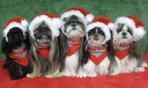 Shih Tzu Dog Costume Photos Including Merry Christmas Cards Shih