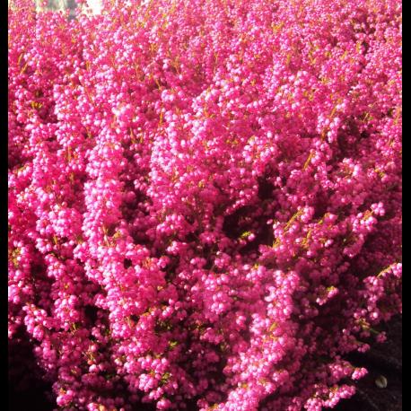 Bruyere Vivace Erica Gracilis Plantes Diverses De Printemps