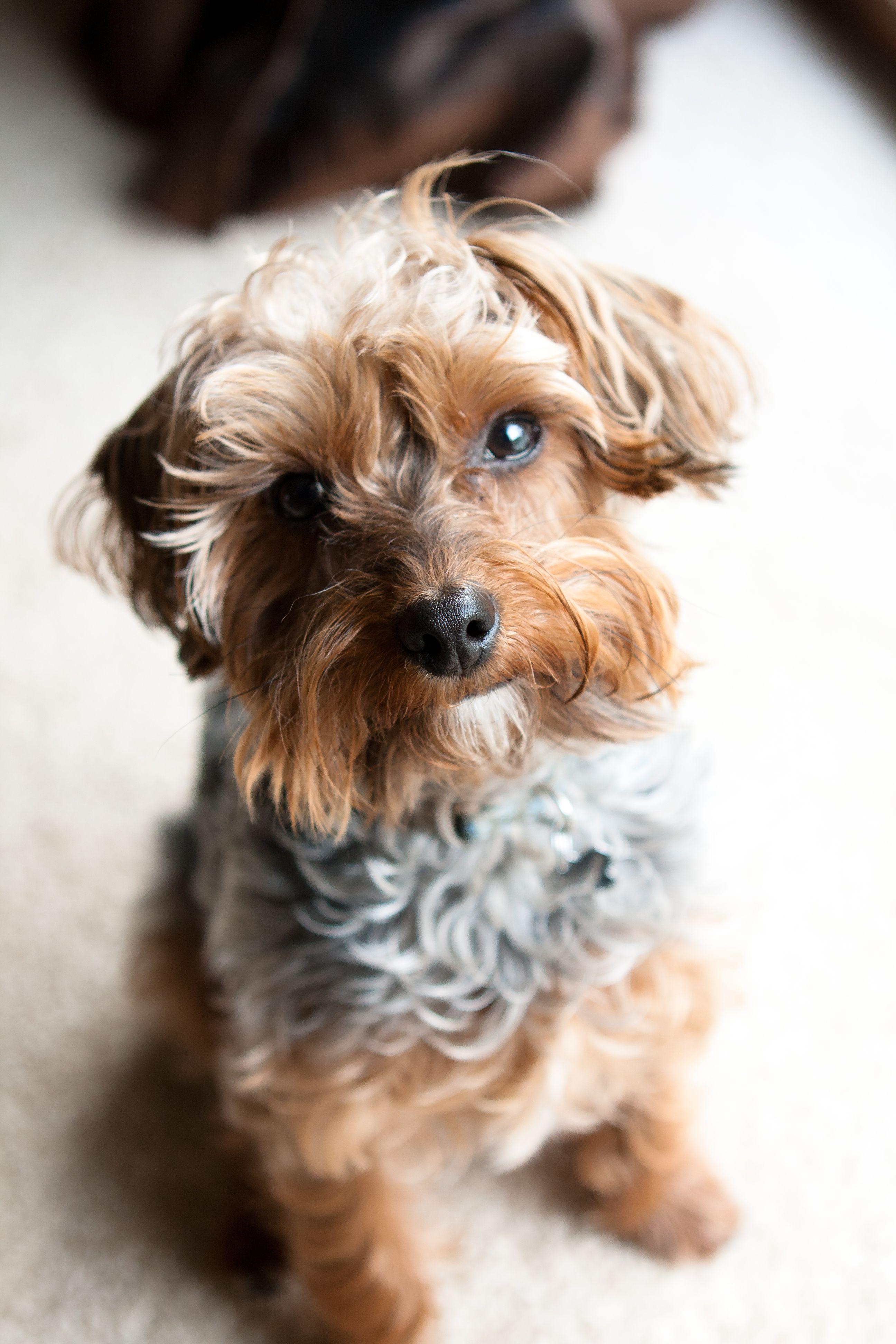 My Yorkiepoo dogs cute Dog people, Yorkie poo, Yorkie