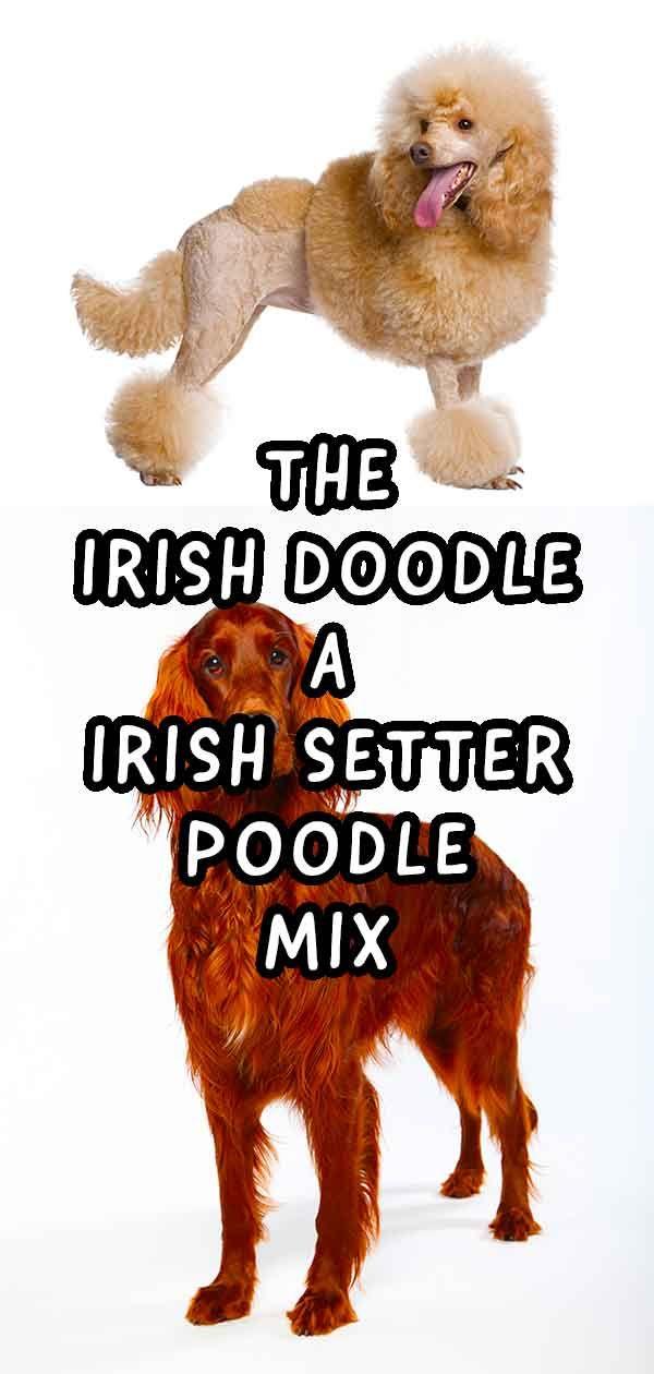 Irish Doodle Information Center The Irish Setter Poodle