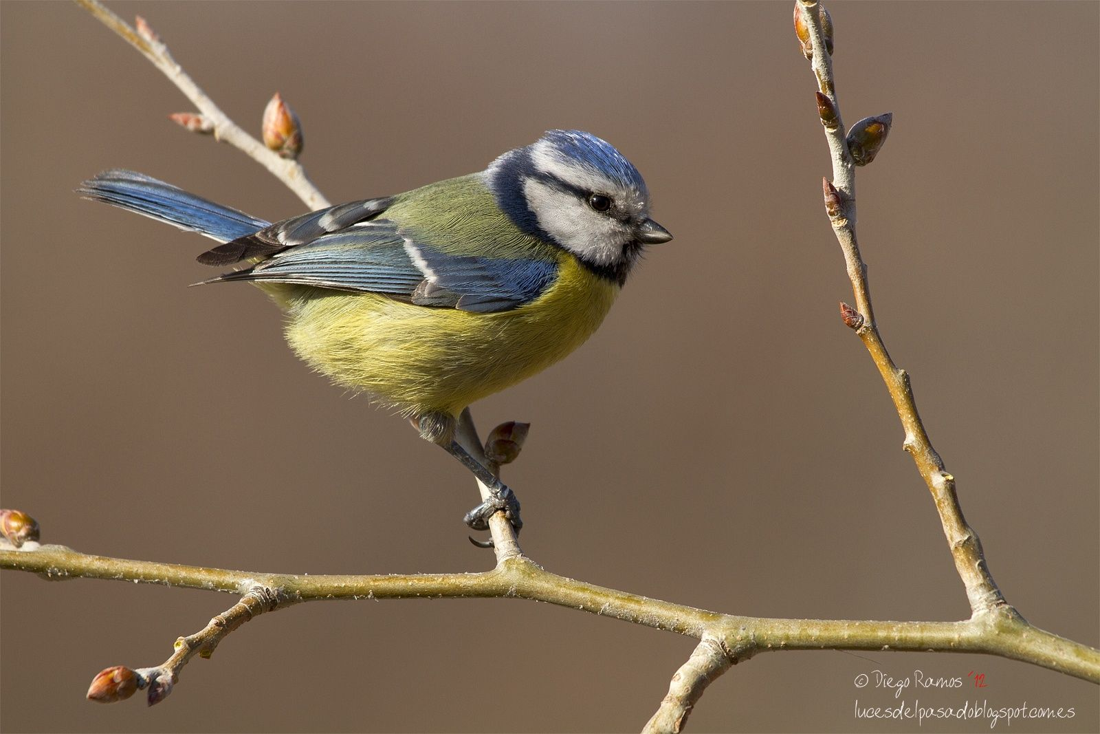 Blue and yellow - Blue and yellow in a little bird... Taken two years ago. I had…