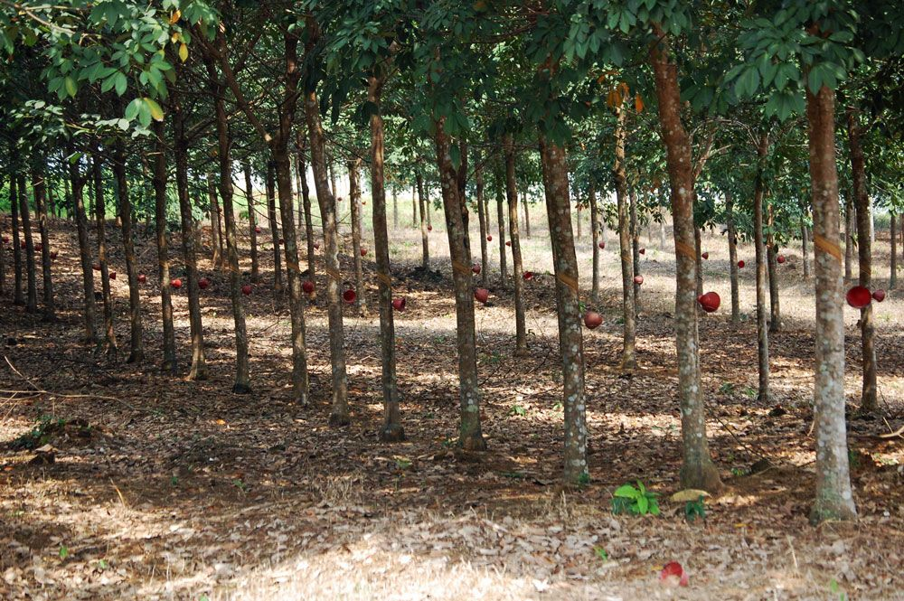 Tapped rubber trees on the Firestone plantation near