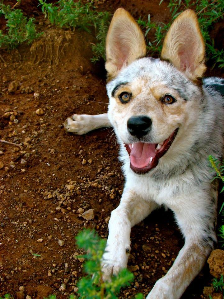 Adopt Joan Clawford Adopted On Aussie Cattle Dog Australian Shepherd Blue Heeler Hound Puppies