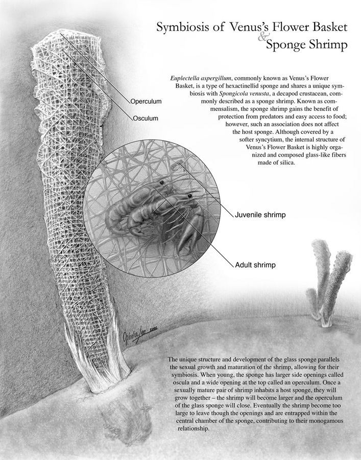 Symbiosis of the Venus Flower Basket and Sponge Shrimp