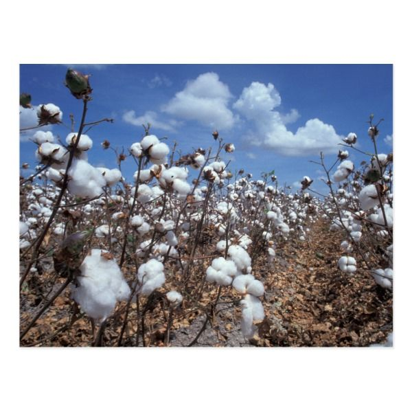 Photo of Cotton Field Postcard | Zazzle.com