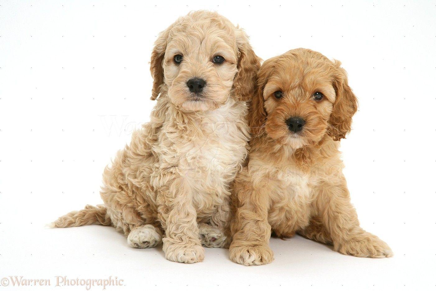 Two Cockapoo pups Cockapoo puppies, Cockapoo, Puppies