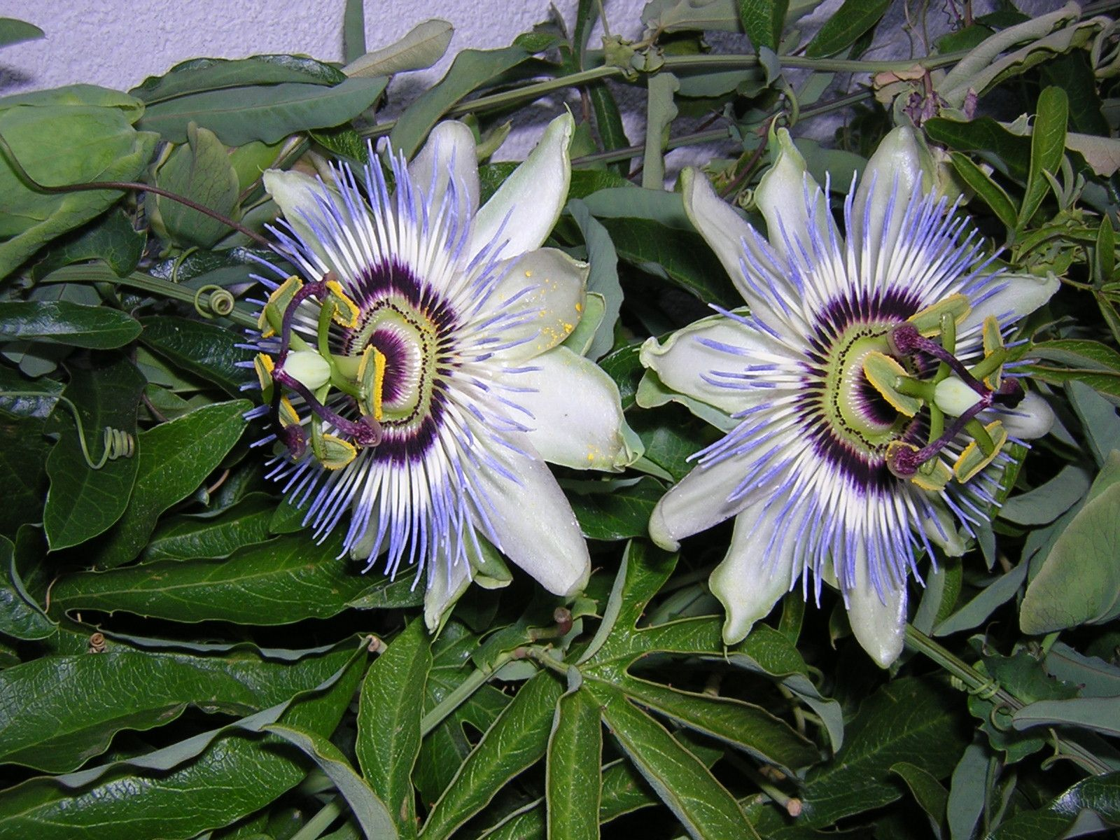 Passiflora Passiflora Caerulea Passion Flower Passiflora Plants
