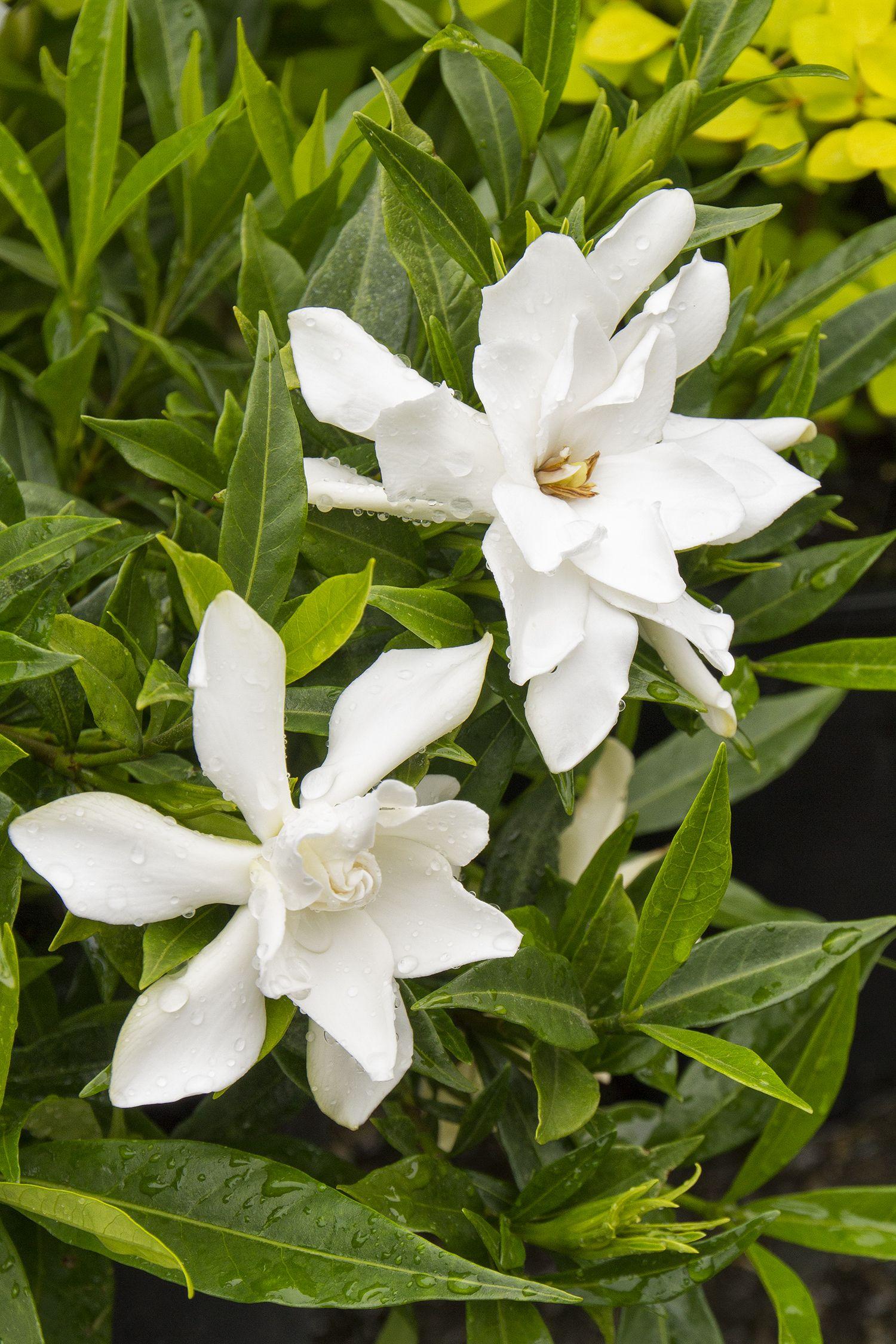 Frostproof Gardenia Monrovia Frostproof Gardenia Gardenia Plant Flower Pots Gardenia