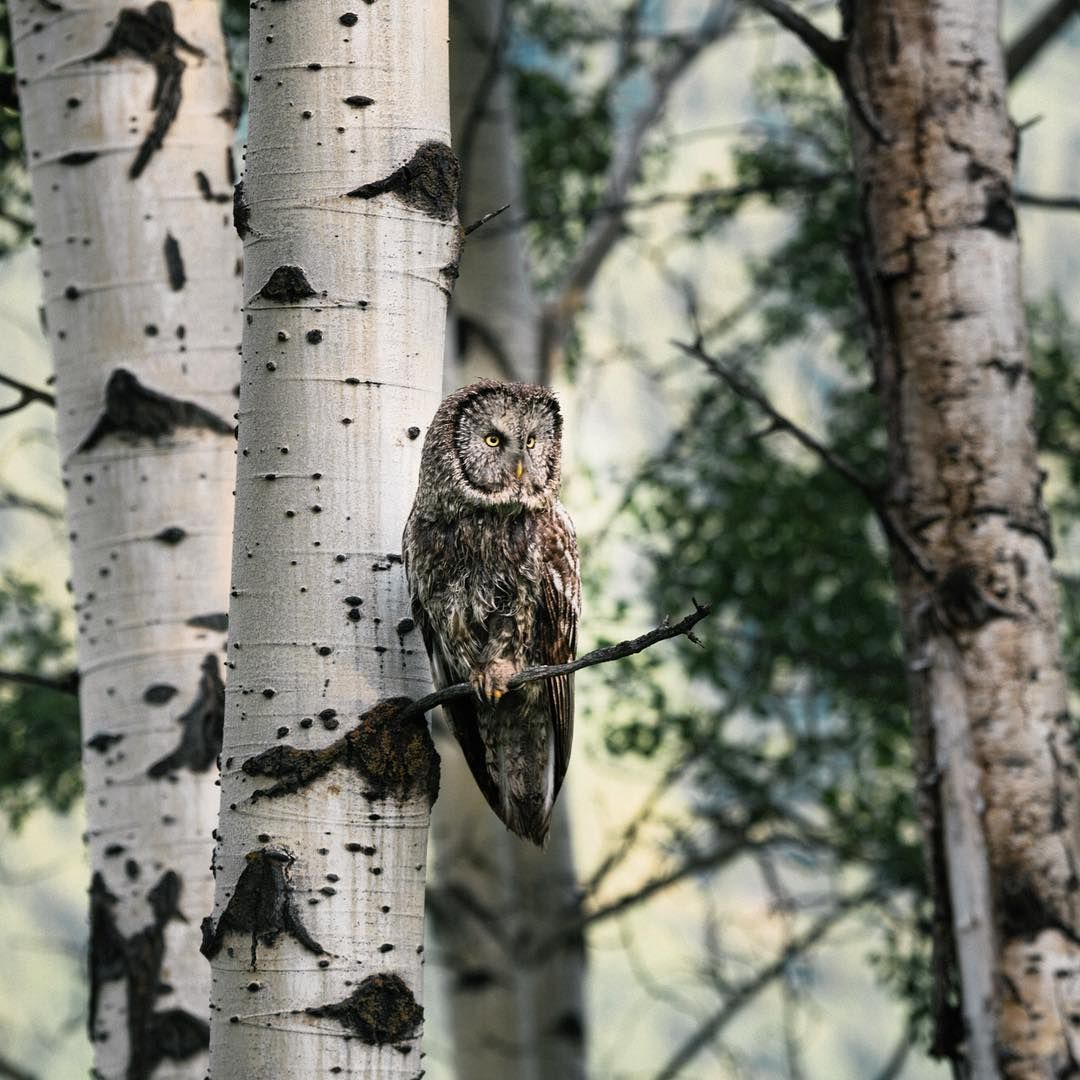 """""""Spent a few minutes with a majestic Great Grey Owl this morning."""