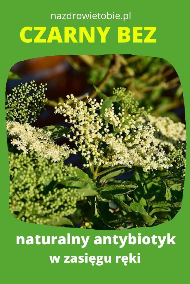 Czarny Bez Naturalny Antybiotyk Natural Medicine Herbs Natural Therapy