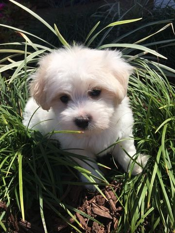 Maltese Poodle Toy Mix Puppy For Sale In Pembroke Pines