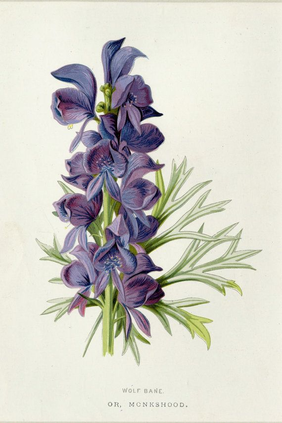Monkshood Flower Tattoo