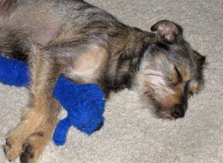 Schnauzer Terrier Mix Breed Border Terrier Schnauzer Mix Elliot